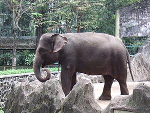 Sumatran elephant - A female Sumatran elephant Ragunan Zoo