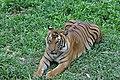 Sumatran tiger (11931774775).jpg