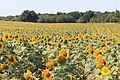 Sunflower Field Saline Township Michigan.JPG