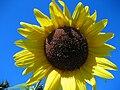 Sunflower IMG 0175.JPG