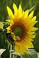 Sunflower bloom - geograph.org.uk - 1469430.jpg