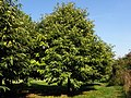 Sweet Chestnut (Castanea sativa) (10184653083).jpg
