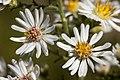 Symphyotrichum ericoides - Flickr - aspidoscelis (2).jpg