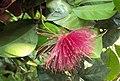Syzygium laetum 18.JPG