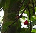 Syzygium samarangense fruit Kerala.jpg