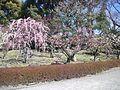 Tô-ji Buddhist Temple - Prunus mume2.jpg