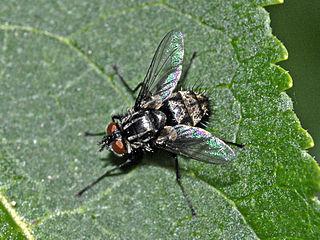 Winthemiini Tribe of flies