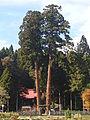 Takaoka shrine's Oosugi.JPG