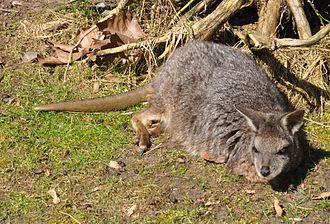 Tammar wallaby - Tammar resting