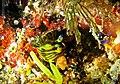 Tambja cf affinis Maldives.jpg