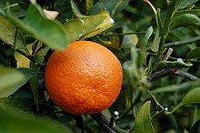 Tangerine fruit in a tree
