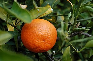 I took this photo of a tangerine from the tree...