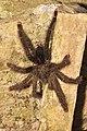 Tarantula (15496475030).jpg