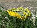 Taraxacum wreath01 by shakko.jpg