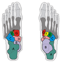 petit os du pied