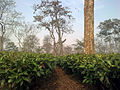 Tea garden in Sonitpur district of Assam, India.jpg