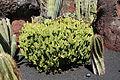 Teguise Guatiza - Jardin - Euphorbia cooperi 02 ies.jpg