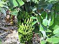 Teneriffa Bananen.jpg