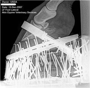 "Soring - X-ray image of a ""performance package"" on a Tennessee Walking Horse, showing shoe, ""stacks""- multiple pads, multiple extra nails placed in pads to add weight and possibly pressure (known as ""pressure soring"") and band across hoof to hold it all on"