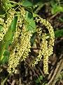 Terminalia elliptica - Indian Laurel flowers at Nedumpoil (12).jpg