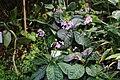 Tetranema roseum GotBot 2015 002.jpg