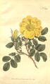 The Botanical Magazine, Plate 363 (Volume 11, 1797).png
