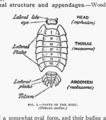 The British Woodlice 01.png