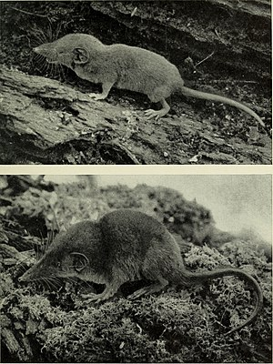Dent's shrew - Crocidura denti (upper image)