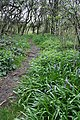 The First Bluebells in Marriott's Spinney, Old Dalby - geograph.org.uk - 159820.jpg