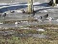 The doves. February 2014. - Голуби. Февраль 2014. - panoramio.jpg