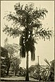The ornamental trees of Hawaii (1917) (14579307429).jpg