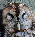 The sadness of a road killed owl. I also like badgers. - Flickr - BazzaDaRambler.jpg