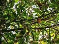 Theobroma cacao capsule and inflorescences Tropical Dome Brisbane Botanic Gardens Mt Coot-tha L1080365.jpg