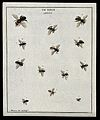 Thirteen bees (Apis species). Coloured etching by M. Harris, Wellcome V0022487EL.jpg
