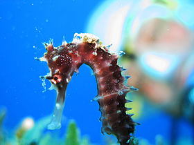 Thorny Seahorse with Jockey - Hippocampus jayakari.jpg
