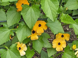 <i>Thunbergia</i> genus of plants