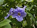 Thunbergia grandiflora (70181).jpg