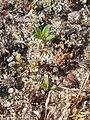 Thymus serpyllum 2018-07-06 3565.jpg
