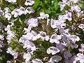 Thymus x citriodorus 'Lemon Thyme' (Labiatae) flowers.JPG
