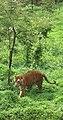 Tiger (2120360653).jpg