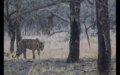 Tiger in Ranthambore 25.png