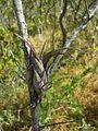 Tillandsia flexuosa - Flickr - pellaea.jpg