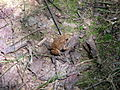 Toad at Fews Ford Eno River SP NC1315 (4030531196).jpg