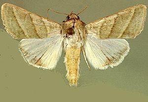 Heliothis virescens - Mounted adult specimen
