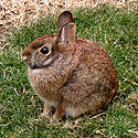 Tochtli-Rabbit-Conejo.jpg