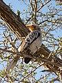 Tockus leucomelas -Kruger National Park, South Africa-8 (3).jpg