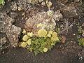 Todaroa aurea (Fuencaliente) 01 ies.jpg