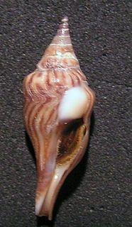 <i>Tomellana lineata</i> Species of gastropod