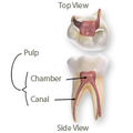 Tooth Diagram.png