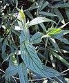 Tournefortia heyneana 18.JPG